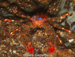 Spiny squat lobster (Galathea strigosa) - Picture taken... by Gary Carpenter